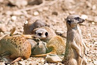 Meerkats relaxing in the sun