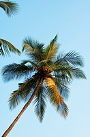 Palm Tree, Goa (thumbnail)
