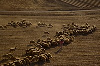 Aerial view of a flock of sheep at the northern Negev