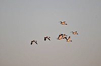 COMMON SHELDUCKS IN FLIGHT, NATURE RESERVE OF THE BAY OF SOMME, SOMME 80, FRANCE