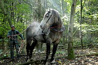 LOGGING IN A FOREST WITH A PERCHERON HORSE, DOMAINE DU GRAND PRAINVILLE, EURE_ET_LOIR 28, FRANCE