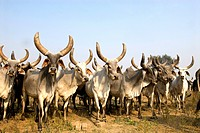 India, Haryana, cattle.