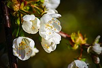 Close_up of Cherry Blossom in Spring.