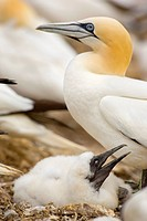Scotland, East Lothian, Bass Rock. Northern Gannet Morus bassanus, the largest member of the gannet family, with chick on The Bass Rock The Bass, a vo...