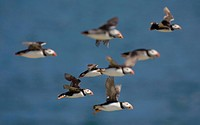 England, Northumberland, Farne Islands. A gathering of Atlantic Puffins Fratercula arctica in flight.