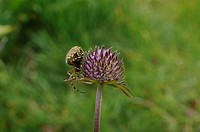 Pyrenean biodiversity. Arachnid. Aculepeira ceropegia. El Serrat, Andorra.