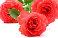rose on white close up