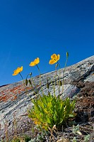 Arctic poppy Papaver radicatum flowering on rock, Disko_Bay, West_Greenland, Greenland