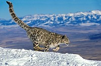 SNOW LEOPARD OR OUNCE uncia uncia, ADULT RUNNING ON SNOW