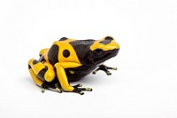 Yellow and black poison dart frog (Dendrobates leucomelas) on white background