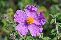 Wild flowers of Greece during springtime, rockrose, cistus incanus, cistus creticus