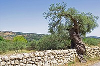 Italy, Sicily, Syracuse Province, Ferla, old olive tree on roadside