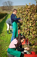 Croatia, Baranja, Men and woman working in vineyard