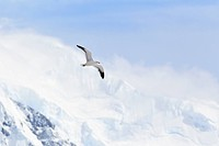 South Atlantic Ocean, Antarctica, Antarctic Peninsula, Gerlache Strait, Kelp gull flying in the sky