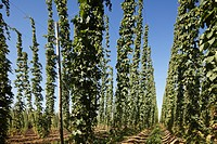 Germany, Upper Bavaria, View of hop garden