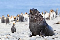 South Atlantic Ocean, United Kingdom, British Overseas Territories, South Georgia, Salisbury Plain, Antarctic fur seal and king penguin