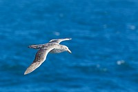 South Atlantic Ocean, Southern giant petrel flying above water