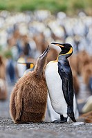 South Atlantic Ocean, United Kingdom, British Overseas Territories, South Georgia, King penguin with chicks