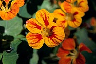 Close_up of nasturtium flowers