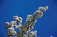 Low angle view of an ornamental pear tree