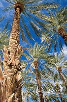 Low angle view of Date Palm Trees, California, USA
