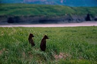Two Brown Bear cubs in a field, Alaska, USA