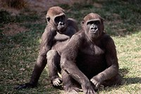 Gorillas sitting, Rio Grande Zoo, New Mexico, USA