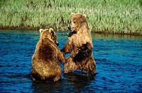Two Brown Bears fighting in a river, Alaska, USA