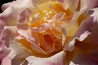 Close_up of a rose