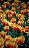 High angle view of tulips