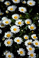 Close_up of daisies