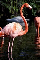 Flamingoes standing in water
