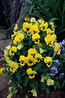 Close_up of pansies