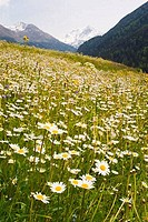 Daisy flowers in a field, Vallorcine, France