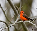 Close_up of a Vermillion Flycatcher Pyrocephalus rubinus perching on the branch of a tree, Houston, Texas, USA