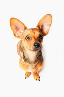 High angle view of a Chiweenie dog A crossbreed of Chihuahua and Dachshund