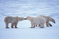 Polar bear Ursus maritimus playing with its cub in snow, Canada