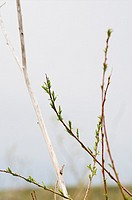 Willow in Grasslands National Park, Saskatchewan, Canada