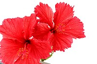 Close_up of hibiscus flowers