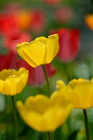 A yellow tulip grows above the others like a cup of sunshine, Pennsylvania, USA
