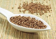 CORIANDER SEEDS coriandrum sativum IN A SPOON