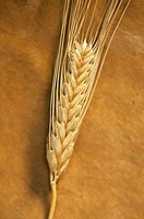 Close_up of wheat