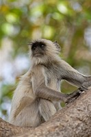 Southern plains gray langur or Hanuman langur Semnopithecus dussumieri sitting on tree, Ranthambore National Park, Rajasthan, India