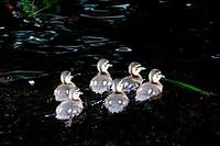 Flock of American black ducklings Anas rubripes in water