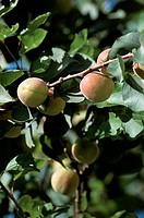 Close_up of apricots on a branch