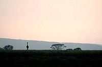 Masai giraffe Giraffa camelopardalis tippelskirchi standing in a field, Serengeti National Park, Tanzania