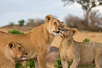 Lion Panthera leo pride interacting after a meal, Masai Mara National Reserve, Kenya
