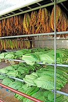 Tobacco leaves drying shed