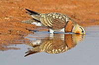 Pin-tailed Sandgrouse (Pterocles alchata) male drinking, Aragon, Spain