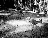 USA, California, Yosemite National Park, Deer with twin fawns
